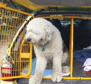 Dog transport car